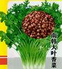 Coriander Seeds New Crop For Growing