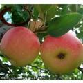 2014 real fresca Gala Apple