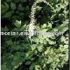 Black Cohosh Extract -- Triterpenoside