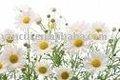 L'huile de fleur de camomille
