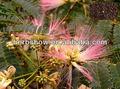 leucaena leucocephala sementes para o plantio
