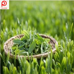 Organic Green Tea Extract Polyphenol 98%