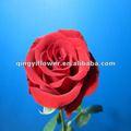 สีแดงดอกกุหลาบจากยูนนานประเทศจีน