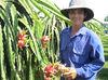 Fresh Dragon Fruits (Red Flesh) from VietNam