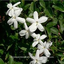 Jasmine Grandiflorum Oil (South India)