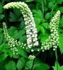 Black Cohosh Extract powder 2.5% Triterpene