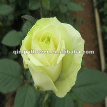 Rose flower for export