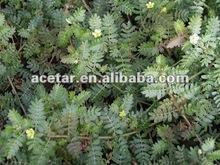 Tribulus terrestris extracto de la planta, saponinas