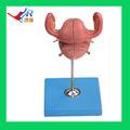 Kích thước cao cấp Life Anatomical uterus, Mô hình giải phẫu uterus