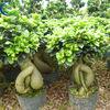 High Quality Ficus Ginseng 2013