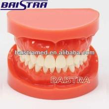 Model IV standard dental hygiene model