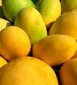 Frais de mangue indienne/dashehri/chaunsa/alphonse/kesar/totapuri mangue variété tardive
