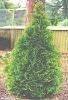 Thuja O. Smaragd plant