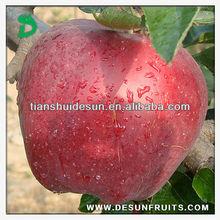 new crop fresh red delicous sweet crispy health Tianshui huaniu apple