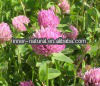 100% Natural Trifolium repens Linn/Red Clover Extract