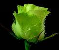 Heirloom 100 Rose sementes rosas verdes bastante raro jardim de flores perenes em massa B3007