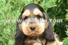 SABLE English Cocker Spaniel puppies