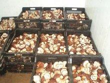 funghi porcini, mushrooms, cepes, steinpilze