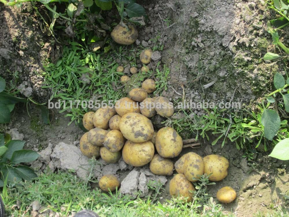 Fresh Potato From Bangladesh