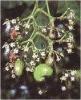 Semecarpus Anacardium Extract