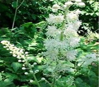 High quality Black Cohosh P.E with free sample