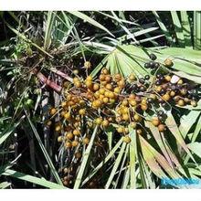 Pure nature Saw palmetto P.E. with free sample in 2014
