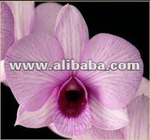 Dendrobium keiko, De color rosa planta de la orquídea