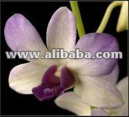 Dendrobium Arredang azul, Azul planta de la orquídea