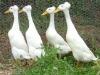 Barlas Incubators, Ducks & Other Fancy Birds