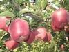 2013 no pestiside and crispy huaniu apple