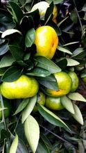 Fresh xunwu mandarin