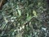 orthosiphon stamineus leaf (Misai Kucing Leaf)