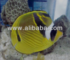 lunula butterfly fish
