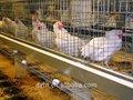 Automatique de la batterie en chine vendre bonne qualité cage poules pondeuses, cage couche