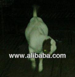 Boer Goat in India