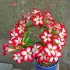 Adenium obesum Seeds Bulk desert rose Bonsai Tree Flower Seeds