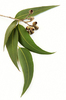 Eucalyptus Essential Oil - Wholesale Prices, USA supplier