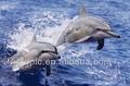 super réaliste 3d impression lenticulaire image de dauphins