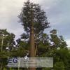 telecommunication natural mast