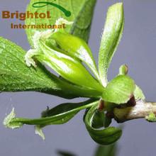 High quality Eucommia Ulmoides Oliv p.e.