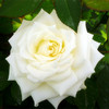 China flower exporter supply bloom flower