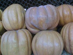 egyption fresh pumpkin