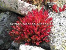 Rhodiola P.E natural herb medicine
