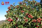 Organic freeze dried fruit powder dried hawthorn berry powder