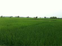 basmati rice from sialkot direct miller