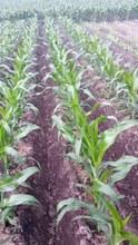 NON-GMO BULK YELLOW CORN (YC2, YC3)