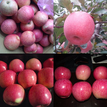Top quality fresh red Qinguan apple fruits
