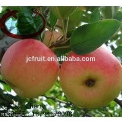 Gala Apple Fruits Containing Calcium