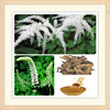 high quality black cohosh p.e/black cohosh p.e powder/black cohosh extract
