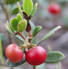 Hepato protective loquat leaf extract 98% ursolic acid